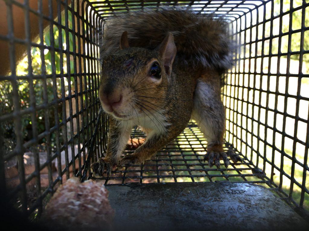 ball ground squirrel trapper
