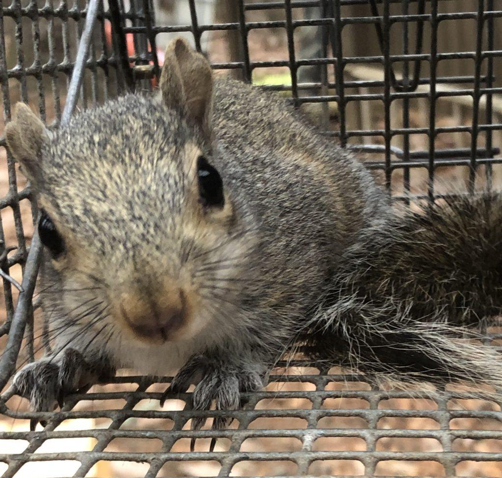 Cumming Squirrel Control