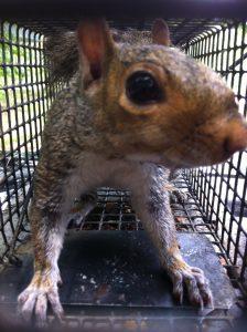 Dawsonville Squirrel
