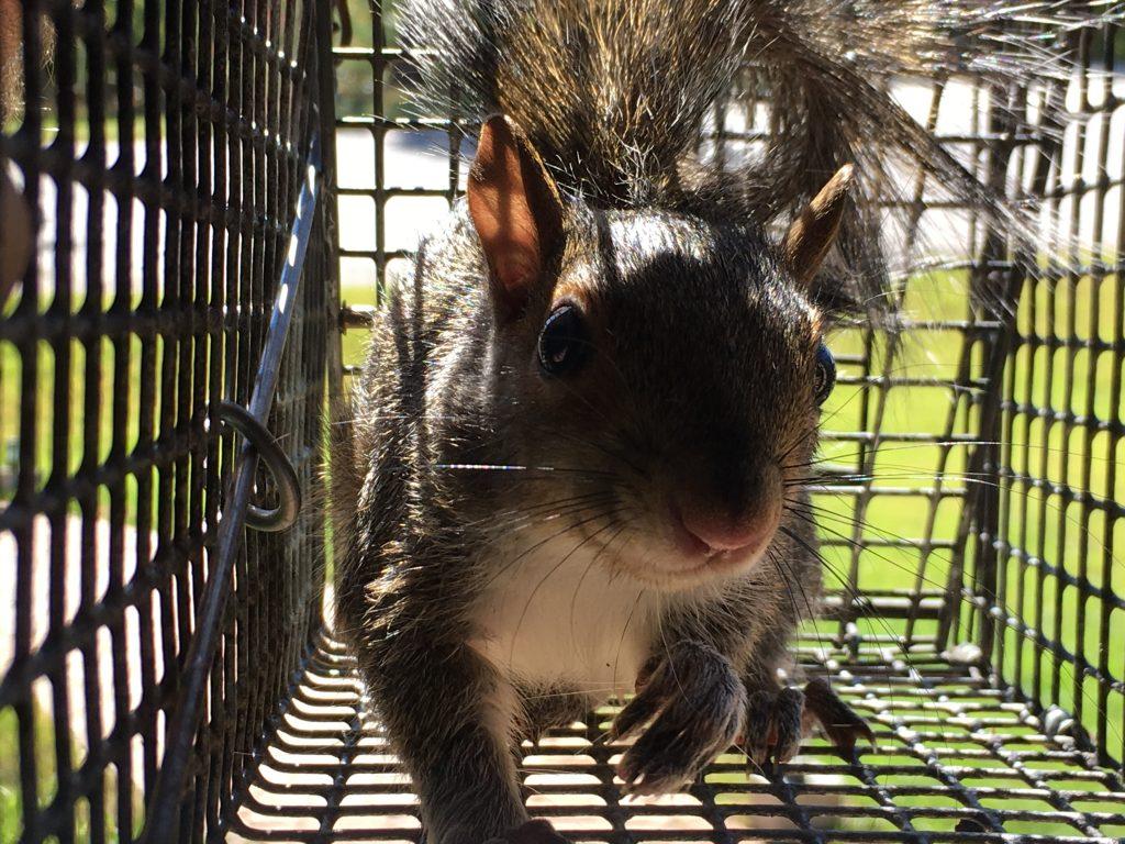 big canoe squirrel